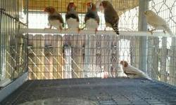 English Zebra Finches born this year, good quality, different mutations like CFW, Phaeo, Grey, Black Face Fawn, Black Face Grey, etc. All have closed metal bands.