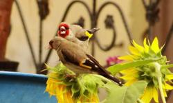 4european gold finch 1 male 3 female not band and not wild inside the cages good bird serious buyer only no ship only pick up