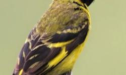 I have European linnet & hooded siskin