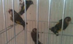 I have about 20 European Serrins for sale. Males & Females are avalable. Young birds they are just getting collored This ad was posted with the eBay Classifieds mobile app.