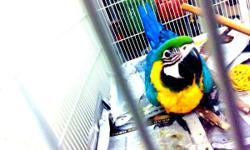 Exchange for mature blue throated male macaw for an three month old baby bleu throated macaw. DO NOT NEED PERMIT WITH TRADES OF THE SAME SPECIES ..and OUT OF STATE. Must show certificate of all testing for viruses negative.. baby's are from tenyears