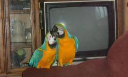 TWO PAIR OF BLUE AND GOLDS MACAWS WITH CAGE AND NEST , ONE PAIR OF SCARLETS MACAWS WITH CAGE AND NEST, ONE PAIR OF QUARKERS WITH CAGE AND NEST , ONE PAIR OF LOVE BIRDS WITH CAGE AND NEST, ONE PAIR OF BLUE PARROTLETS WITH CAGE AND NEST, ONE PAIR OF GREEN