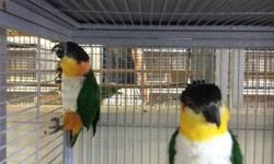 We have a variety of birds. We also carry cages, seed and supplies..visit any of our two locations: 2550 Imperial Ave. San Diego, Ca 92102 (619)677-3269 9531 Jamacha Blvd. Spring Valley, Ca 91977 (619)434-3207