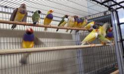 WE HAVE A GREAT SELECTION OF EXOTIC FINCHES AT GREAT PRICES FOR MORE INFO PLEASE CALL (619)249-9831 OR COME VISIT US AT 9531 JAMACHA BLVD SPRING VALLEY 91945 THANK YOU SE HABLA ESPANOL