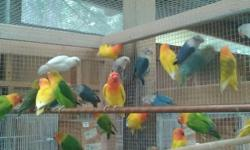 Variety of birds available. The blue fischers came out of a violet Fischer and a green pastel yellow face. The dilute also came out of a violet and a green pastel. The green ones came out of a green Fischer and a green pastel yellow face. The white and