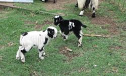 Fainting goats--Adults and Kids, males and females, Assorted sizes, ages and colors. All are good fainters!!! They are great pets and conversation makers......$75.00 males and $150.00 females. 979-541-9357 walkingdminis.