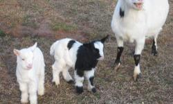 Sweet water farm is offering fainting goats for sale...We have bucklings, doelings for sale...prices range from 100-250.00....We have tri-colors, black/whites..some blue eyes...please call..336-595-2825