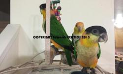 """SPECIAL Now through July 4th - $100 each! Fancy Cockatiels Hand Fed - WEANED - Sweet & Ready! One or Both ARE TALKING ALREADY!!! A sentence no less, """"He's SO Cute..."""". Hatch: Approximately March 1, 2016 Fully weaned and eating seed and pellets, fresh"""