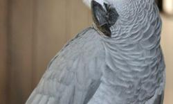 Due to family illness, we need to find a new forever home for our African Grey. She is DNA'd - will be 6 in November, has a large vocabulary and has been with us since before she had all her feathers. It breaks my heart to have to sell her, but my husband