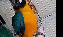 female blue and gold macaw adult not sure of age semi tame not loud not a screamer she would make a good breeder parrot or a pet if you work with her im looking to sell her or trade for another tame parrot please call anytime 954 549 8878