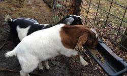 I have for sale a female boer/Nubian goat. She is for pet only! She will be 2 in August. Thank you It is the brown and white goat in the picture