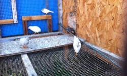 In search of a female button quail as a companion to our male. He lost his partner a month ago and has been crying day and night for her.