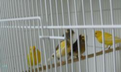 American Singer female. 10 months old. $40. Sweet bird.