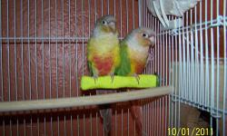Ready for forever homes female Cinnamon Turquoise green cheek conures hand tame little sweethearts SPRING SALE $225.00