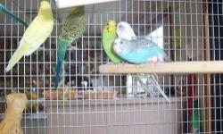 """Beautiful baby cockatiel. Female starting to talk and immitate whistles. Says """"what are you doing?"""" Very friendly looking for a good home. $95.95 for just the bird Package Deal: $229.95 package deal. Includes bird, cage, one toy and 1lb bag of food"""