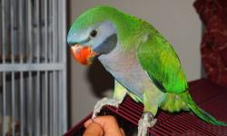Female Derbyan 6 Years Old Ready For Breeding Is All Feathered Up -- Beautiful Looking Derbyan Prefer Calls 631-882-8270 Shipping at buyers cost