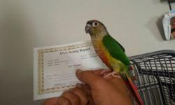 Yellow sided green conure female with DNA 4.5 months old tame very friendly even with kids if you have any question call me at 5622914833