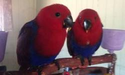 I have a beautiful female Soloman Island Eclectus for sale... She was hatched on 11-18-2012 and is currently on two feedings a day. She is eating well on her own also but a little bit of a baby still... I can wean her out for extra or let her go now to an