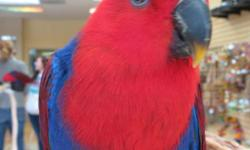 Recently weaned Female Eclectus, located in Sacramento on J Street!! For more information please call us at 916-594-9290 please reference Ebay Classified for 10% off of any cage in stock with purchase of this precious baby. Thank You!!