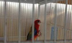 female fiery back Rosella, the male flew away on her last clutch, she sat and fed four chicks.I'm asking $225.00 or trade for peach face lovebirds or quakes or just let me know what you have.Please email for further questions thanks.