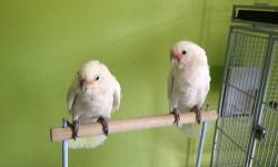 Female goffin cockatoo.3yrs old handfed and ver nice.longs for a lot of attention.needs to be with someone who have a lot of time. bird is flucking chest till it is raw.if you spend time with her she doesn't do it.i rather have someone who knows how to