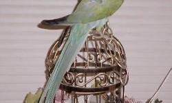 Re homing a female Indian Ringneck .. she is a mix of blue and green . She has a problem with pulling feathers under her beak on her neck , and some on her legs .. I have been treating her . She is semi tame . She can be handled , but there is the risk of