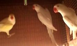 I have a beautiful lacewing Indian ringneck she is sky blue with white head. I also have a beautiful female red eye albino Indian ringneck. I need to find a good home. Please call or tex Becky at 520- 560-8158 thank you Please serious inquiries only I'm