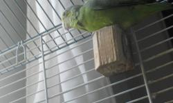 Normal green Parrolet. Almost 2, would make good breeder. very quiet. Large parrot in a small bird package.