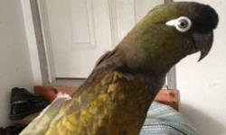 3-4 year old Patagonian Conure with cage. Avoca Arkansas area. Tame and says a few words. Largest species of the Conures. Comes wirh her large cage. $300 obo. Call or text (479) 856-8222. Se habla español. This ad was posted with the eBay Classifieds