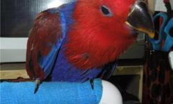 This baby is Very sweet. She is still being hand fed and played with daily. They make wonderful pets, and are just wonderful all around birds. The females are a little more stand offish, but still great pets. They eat fruits and veggies along with a