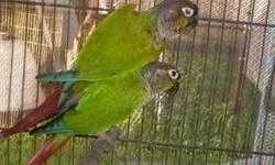 Due to health reasons, im selling off most of my birds. I have decided to let my female scarlet chested parakeet go to a new home. She is semi-tame She bred for me last year, but this year I put her in the mixed flight aviary just to relax. She does not
