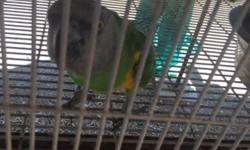 Female pet Senegal parrot, around 18 years old.