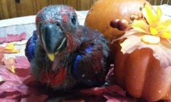 I'm taking a deposit on one female eclectus baby. I spend a lot of time with my babies out of the cage loving & playing with them. I love my babies & take the time to give them the emotional stability they need to have a long healthy & happy life. All