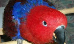 For Sale: Female Solomon Island Eclectus. Miss Molly ( she knows her name and says it ) was hatched here at Wisconsin Parrots back in 2010. She is a pet and likes to be out of her cage. She steps up and says a few words and meow's like a cat. She is