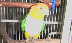 A sweetheart . A three and half year old darling, Yet, she is among other birs to know she is a bird. Perfect for a mate for future offspring. Yet, if your wanting as a pet she is adorable and so cuddly. DNA certificate will come with this price of 875.