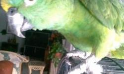 I have three female american singer canaries for sale. Two yellow about a year old and one peach about 5 months old.