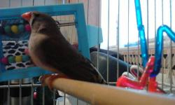 Hello, I recently got a female zebra finch and she is a sweet playful little bird but I was looking for something I could hold and interact with such as a cockatiel. I am willing to trade her and her cage, toys and food for a cockatiel or I am going to