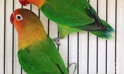 Green Fischer LoveBirds Two pairs available (Black mask and Orange mast) Willing to trade for other birds Outdoor raised - $70 a pair Hablo Espanol - 6266769713