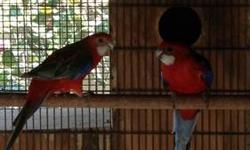 I have a pair of fiery rosellas. Female is cinnamon fiery. Ready to breed. Price is firm and I'm not in a rush to sell. Will consider trades This ad was posted with the eBay Classifieds mobile app.