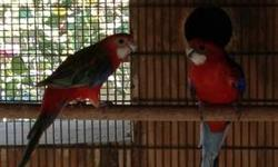 Reduced !!! I have a proven pair of firey rosellas pair I am selling to make room for babies. Big birds w perfect feathers. Nice singers Pls txt Trade considered