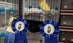 Breeder of show quality fife canaries. $80.00 each Please visit us on our youtube site to see all the canaries we have to offer: http://www.youtube.com/watch?v=awAYf-8E1gU Contact us at www.fancycanary.com for more information or with any questions.
