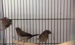 I have few extra society finches that I would like to find new homes for. Asking $7 each. Please text or call for more info...... 714-392-6164.....