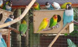 Looking for a hand feeder to buy my lovebirds from them the nest at 2-3 weeks of age. All are either Lutino, both blue and clue sky, cobalt, blackeyed whites, and peach face opalines. If interested please email me. Thanks