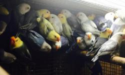 I have very beautiful birds. High wuality mutations. Yellow sables in pied and solid. White sables in pied and solids including violets df. Contact by 786 325 8878. This is a group pic of some of them. Bellos cabesa amarillo sables en pinto y solidos en