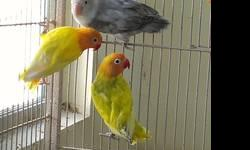 I have all types of fischer lovebirds available. There are lutinos, albinos, mauves, violets, and all colors in pieds. All birds are from 4 months to 1 yr old. If interested please call or text me at 786-210-3395 or feel free to send me an email at [email