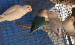 I have 6 fischer lovebirds that are worth $450. and since I know it is not easy to have this amount of money, I am willing to trade the whole flock. I am looking for a keyboard, a cello, an electric acoustic guitar, or a lap top. email if interested.