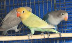 QUALITY Fischer LoveBirds for SALE. Green, Pied, Normal Par Blues, Sables & Yellow faces. Contact for prices if interested. New Babies AVAILABLE! 562-450-3500. Text or email.