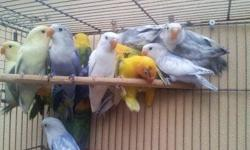 ALL OF THESE BEAUTIFUL FISCHER LOVEBIRDS ARE AVAILABLE..SABLE YELLOW HEAD IN VIOLET< SABLE PIEDS IN VIOLET, MAUVE, BLUE. REGULAR VIOLET WHITE FACE AND MORE. CALL FOR MORE INFO... 786 325 8878 OR 786 397 5795 HABLAMOS ESPANOL