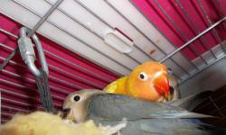 Only one very dilute green Fischer's lovebird available.50.00 904-757-0807 Below is a baby photo,baby is weaned now and very brightly colored with a yellow body with a few tiny green spots, a bright red head with white eye rings, and a big red beak.