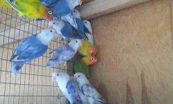 I have all these lovebirds for sale. All young birds and 2 proven pairs. Violets white face Mauve white face White black eye Lutinos Cobalts Violet pied sable Blue pied Green and yellow pieds.. Call for more info. 786 325 8878 / 786 397 5795 Se habla